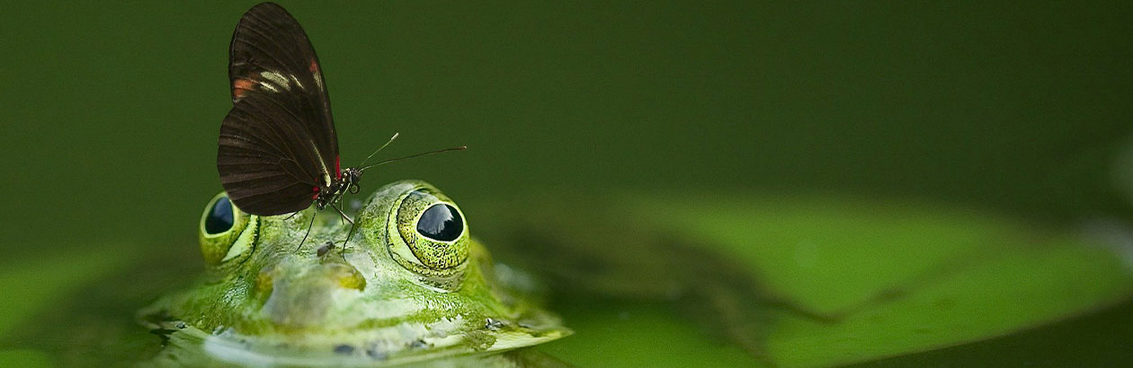 Picture of a frog in the water with a butterfly on its nose